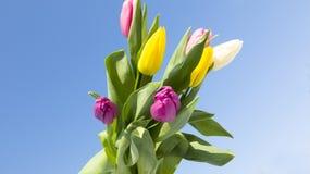 Wiosna kwitnie tulipany zdjęcie stock