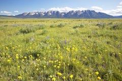 Wiosna kwitnie w Centennial dolinie blisko Lakeview, MT zdjęcie royalty free