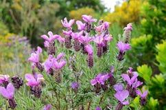 Wiosna kwitnie w pustyni des Agriates Zdjęcia Royalty Free