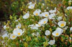 Wiosna kwitnie w pustyni des Agriates Zdjęcia Stock