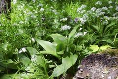 Wiosna las z dzikim czosnkiem Fotografia Royalty Free