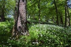 Wiosna las z dzikim czosnkiem Zdjęcia Royalty Free