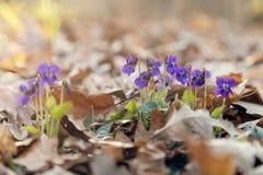 Wiosna lasu kwiaty Zdjęcia Royalty Free