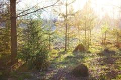 Wiosna lasu sceneria Słońce promienie, świerczyny i sosny zdjęcia stock