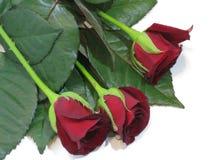 Wiosna, lato, velvety różani płatki ekscytują wyobraźnię i przyciągają oko zdjęcie royalty free