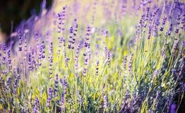 Wiosna Lawendowy kwiat Zdjęcie Royalty Free