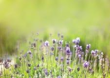 Wiosna Lawendowy kwiat Zdjęcia Stock