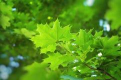 Wiosna liść kasztan obrazy stock