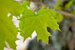 Wiosna liść klonowy Obraz Royalty Free
