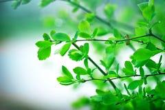 Wiosna liście Zdjęcia Stock