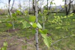 Wiosna liście na małej brzozie Obrazy Royalty Free