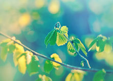 Wiosna liście - zieleń liście Fotografia Royalty Free