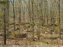 Wiosna liście na Chuderlawych drzewach w lesie Obrazy Stock