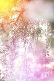 Wiosna, młody czereśniowy kwitnąć wiosna kwiat Zdjęcie Royalty Free