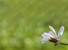 Wiosna magnoliowi kwiaty, miękki kwiecisty tło Obraz Royalty Free