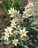 Wiosna mali biali kwiaty Fotografia Royalty Free