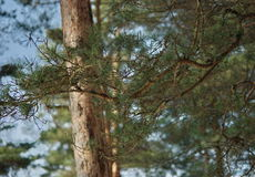 Wiosna Marcowy sosnowy las Obrazy Stock