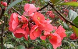 Wiosna, menchia barwi na drzewie, on uprawia ogródek okwitnięcia zdjęcie stock
