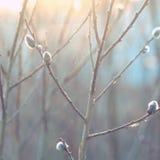 Wiosna, miękka ostrość Wierzby gałąź z baziami Zdjęcia Royalty Free
