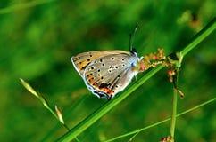 Wiosna motyl Obrazy Royalty Free