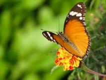 Wiosna motyla tło Zdjęcie Royalty Free