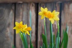 Wiosna narcyza od żółty daffodil nad drewnianym tłem z odbitkową przestrzenią Wielkanocny pocztówkowy pojęcie Zdjęcia Stock