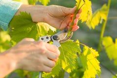 Wiosna ogród, opieka, przycina Żeńskie ręki z pruner arymażu winoroślą przy wiosna ogródem pracują z krzakiem winogrona Zdjęcie Stock