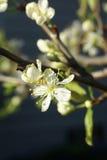 Wiosna okwitnięcia, śliwkowy drzewo Zdjęcie Stock