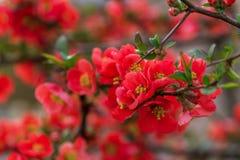 Wiosna okwitnięcia piękny drzewo Obrazy Royalty Free
