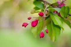 Wiosna pączek, czereśniowa gałązka Zdjęcie Royalty Free