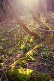 Wiosna płatek śniegu, śnieżyczka kwiaty Fotografia Royalty Free