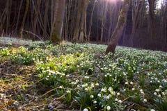 Wiosna płatek śniegu, śnieżyczka kwiaty Obraz Stock