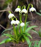 Wiosna płatek śniegu, lato płatek śniegu lub Loddon leluja, obraz royalty free