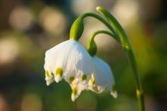 Wiosna płatek śniegu - Leucojum vernum 1 fotografia stock