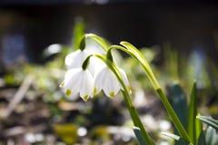 Wiosna płatka śniegu kwiaty Obraz Royalty Free