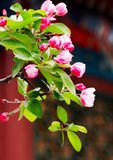 wiosna pączków kwiatów Fotografia Royalty Free
