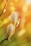 Wiosna pączki wierzbowe bazie Zdjęcia Royalty Free