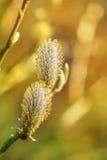 Wiosna pączki wierzbowe bazie Obraz Royalty Free