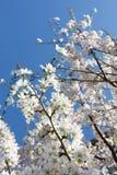 Wiosna pączkuje Zdjęcie Stock