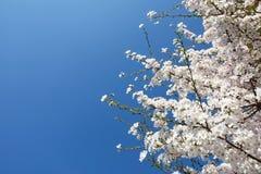Wiosna pączkuje drzewa Obrazy Royalty Free