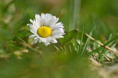 Wiosna Piękne kwitnące stokrotki w wiosny łące zamazujący abstrakcyjne tło Zdjęcie Royalty Free