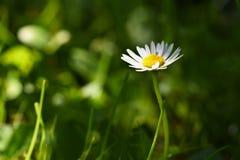 Wiosna Piękne kwitnące stokrotki w wiosny łące zamazujący abstrakcyjne tło Zdjęcie Stock