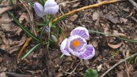 Wiosna Piękni biali i purpury kwiaty zbiory