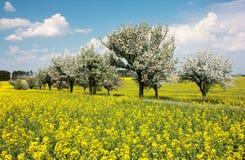 Wiosna piękny widok rapeseed pole, aleja jabłoń Obraz Stock