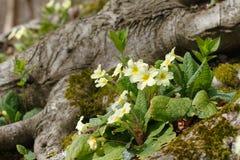 Wiosna pierwiosnek w lesie zdjęcie stock