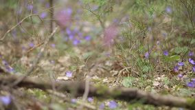 Wiosna pierwiosnki w lesie zdjęcie wideo