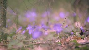 Wiosna pierwiosnki w lesie zbiory