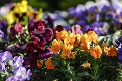 Wiosna: pomarańczowi pierwiosnki w selekcyjnej ostrości wśród grupy mieszani barwioni kwiaty w bokeh obrazy royalty free