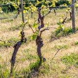 Wiosna Potomstwo zieleń opuszcza na starym Francuskim winogradzie Winnicy rolnictwo w wio?nie s?oneczny dzie? mi?kkie ogniska, zdjęcia stock