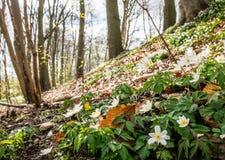 Wiosna promienieje pięknych białych anemony Fotografia Stock